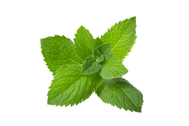 Peppermint, lemon balm on white background stock photo