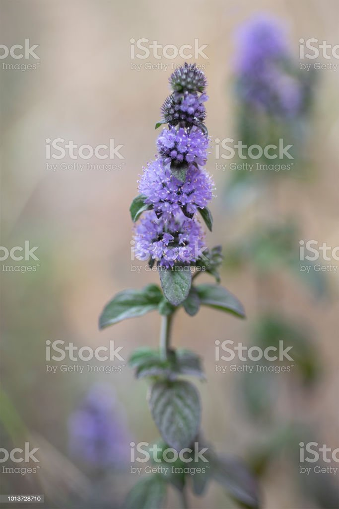 peppermint, Mentha × piperita stock photo