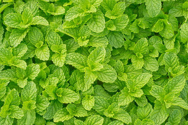 peppermint stock photo