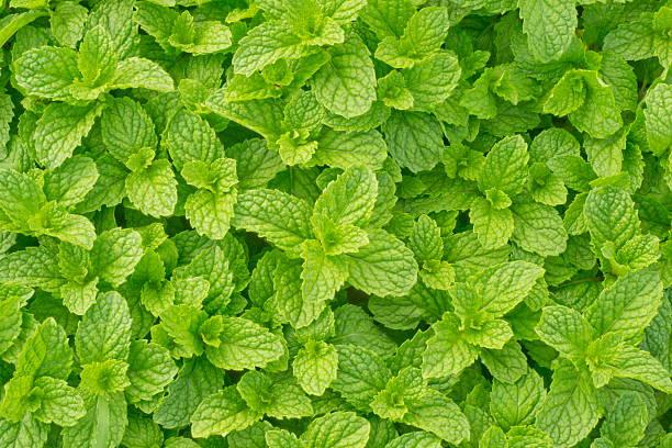 menta piperita - menta erba aromatica foto e immagini stock