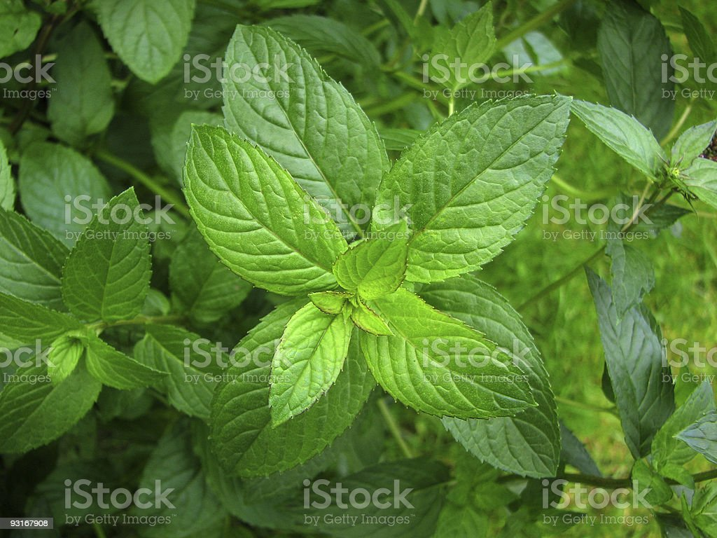 Peppermint plant stock photo