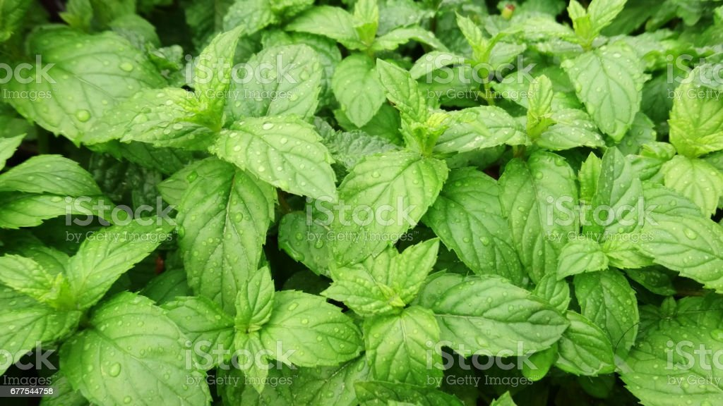 peppermint plants in a garden royalty-free stock photo