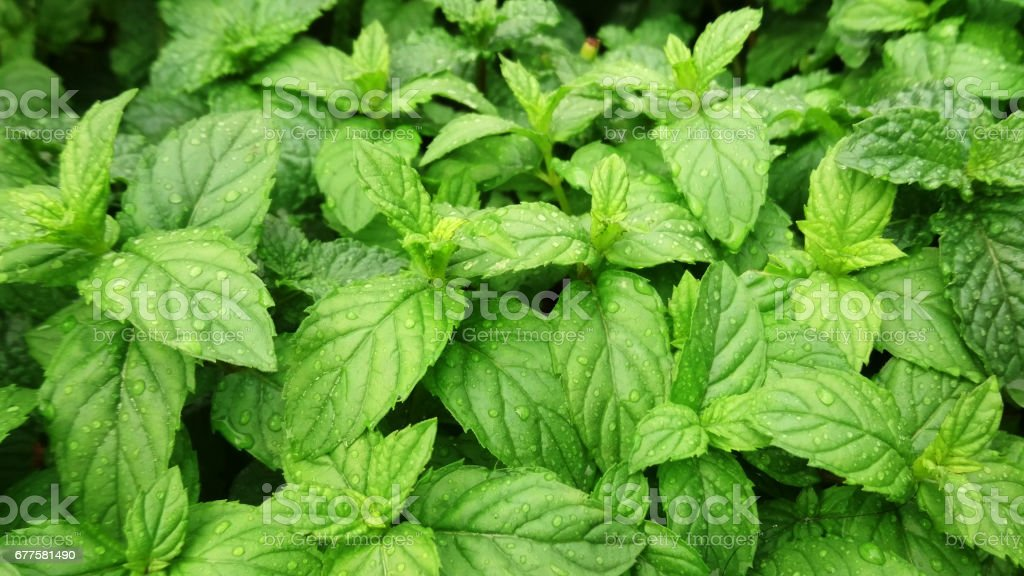 peppermint plants in a garden stock photo