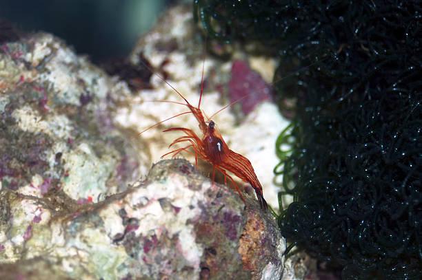Peppermint shrimp (Lysmata wurdemanni) stock photo
