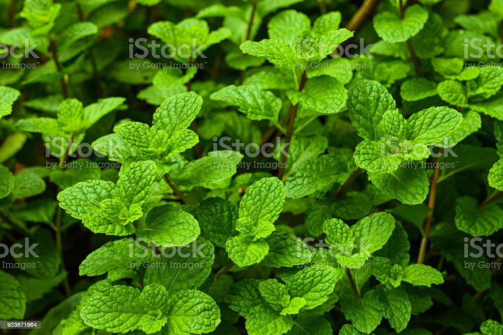Peppermintthai Herbs Plant Garden Vegetables With Antioxidants ...