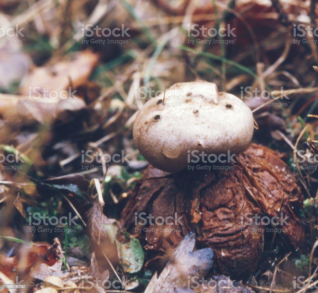 Pepperpot paddestoel (Myriostoma coliforme) foto
