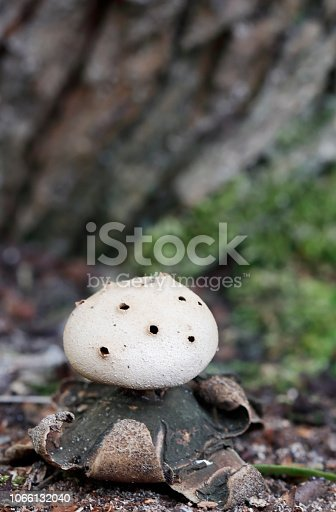 Myriostoma is a fungal genus in the family Geastraceae. The genus is monotypic, containing the single species Myriostoma coliforme. It is an earthstar, so named because the spore-bearing sac's outer wall splits open into the shape of a star. The inedible fungus has a cosmopolitan distribution, and has been found in Africa, Asia, North and South America, and Europe, where it grows in humus-rich forests or in woodlands, especially on well-drained and sandy soils. A somewhat rare fungus, it appears on the Red Lists of 12 European countries, and in 2004 it was one of 33 species proposed for protection under the Bern Convention by the European Council for Conservation of Fungi.  The fruit body, initially shaped like a puffball, is encased within an outer covering that splits open from the top to form rays. These rays curve down to expose an inner papery spore case, which contains the fertile spore-bearing tissue, the gleba. The fungus is unique among the earthstars in having a spore case that is supported by multiple stalks, and is perforated by several small holes suggestive of its common names salt-shaker earthstar and pepperpot. It is the largest of the earthstar fungi, and reaches diameters of up to 12 cm. Its spherical spores have elongated warts that create a ridge-like pattern on their surface. The spores are dispersed when falling water hits the outer wall of the spore sac, creating puffs of air that force the spores through the holes (source Wikipedia).   This nice Species is found in the Coastal Sand Dunes in the Netherlands. It is quite rare in these Regions.