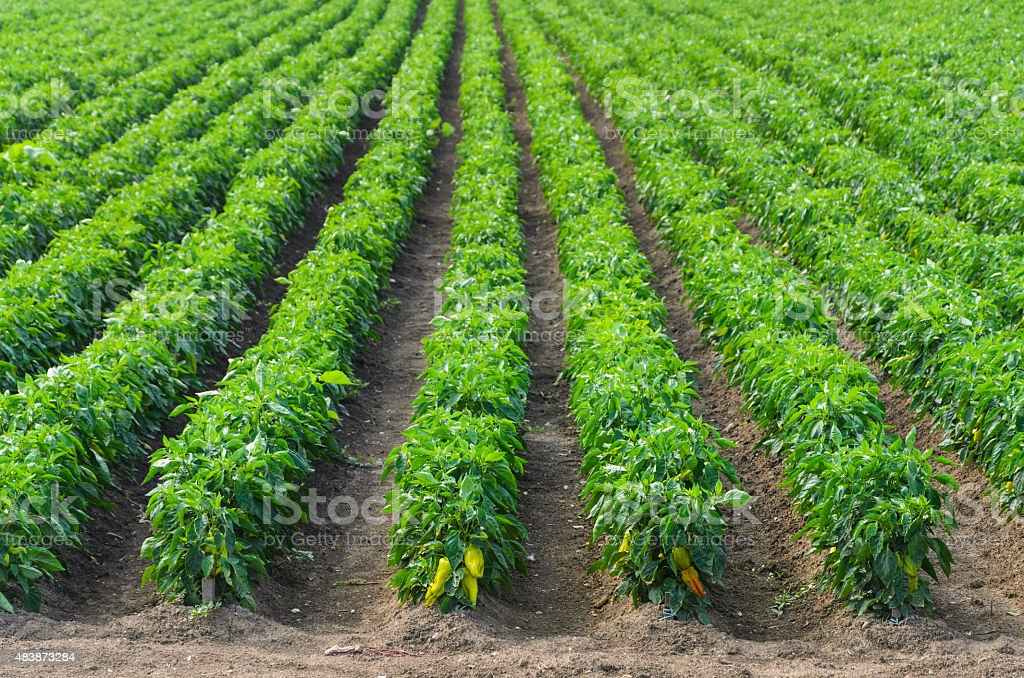 Peppers growing in a field with irrigation system stock photo