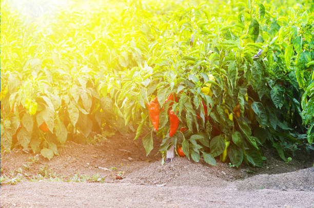 Peppers growing in a field with sun flare