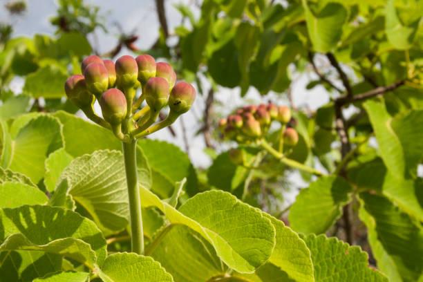 flor de pequi no cerrado brasileiro - pequi - fotografias e filmes do acervo