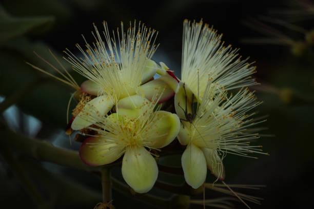 """flor de pequi ou """"souari porca"""" (caryocar brasiliense) - pequi - fotografias e filmes do acervo"""