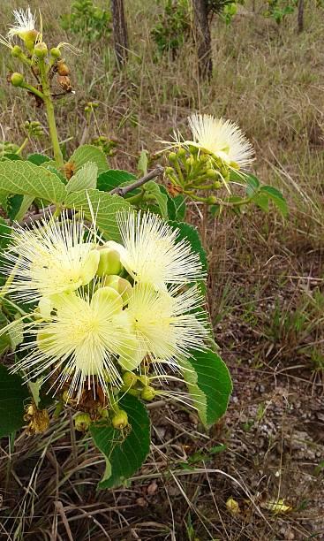 pequi, planta com flor brazilien típico do cerrado - pequi - fotografias e filmes do acervo