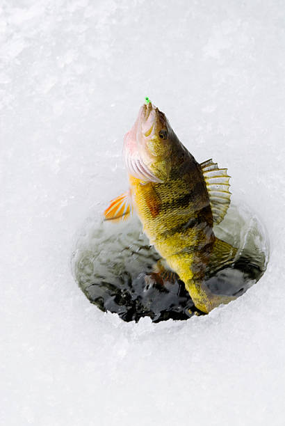 Perch Being Caught Through Ice A yellow perch is being brought up through a hole in the ice during some winter fishing. perch fish stock pictures, royalty-free photos & images