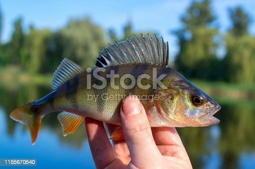 951984746istockphoto perch caught in a river in summer 1155670540