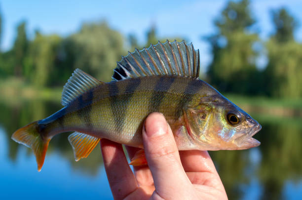 perch caught in a river in summer perch caught in a river in summer, closeup in the hand of a fisherman perch fish stock pictures, royalty-free photos & images