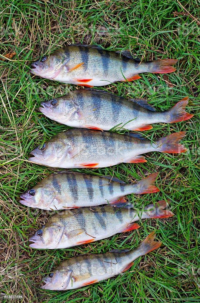 perch fish group stock photo