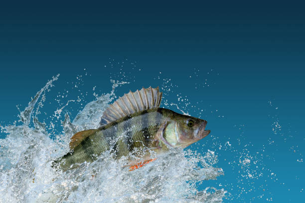 Perch fish jumping with splashing Perch fish jumping with splashing perch fish stock pictures, royalty-free photos & images