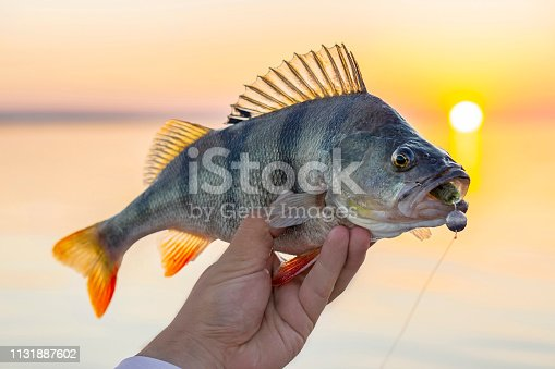 951984746istockphoto Perch fish trophy in hand of fisherman above water on sunset background 1131887602