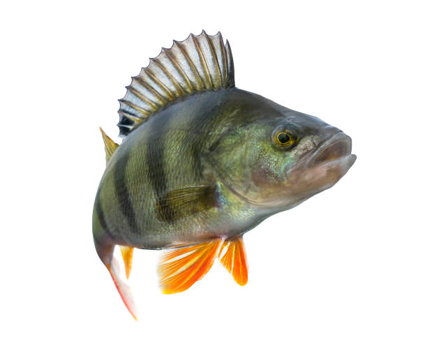Perch fish trophy isolated on white background. Perca fluviatilis Perch fish trophy isolated on white background. Perca fluviatilis perch fish stock pictures, royalty-free photos & images