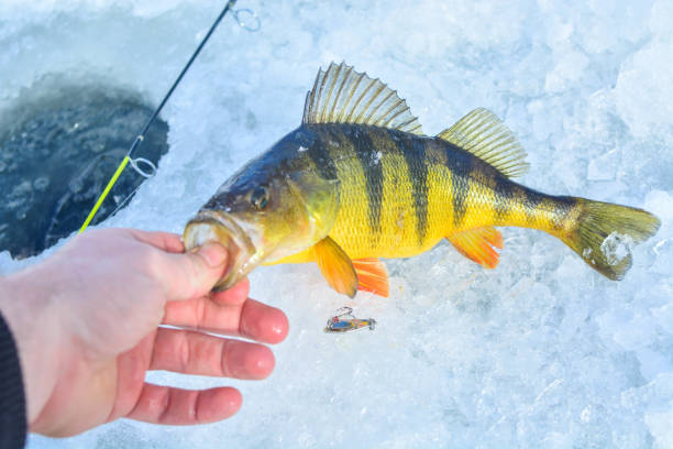 Perch ice fishing Perch ice fishing perch fish stock pictures, royalty-free photos & images