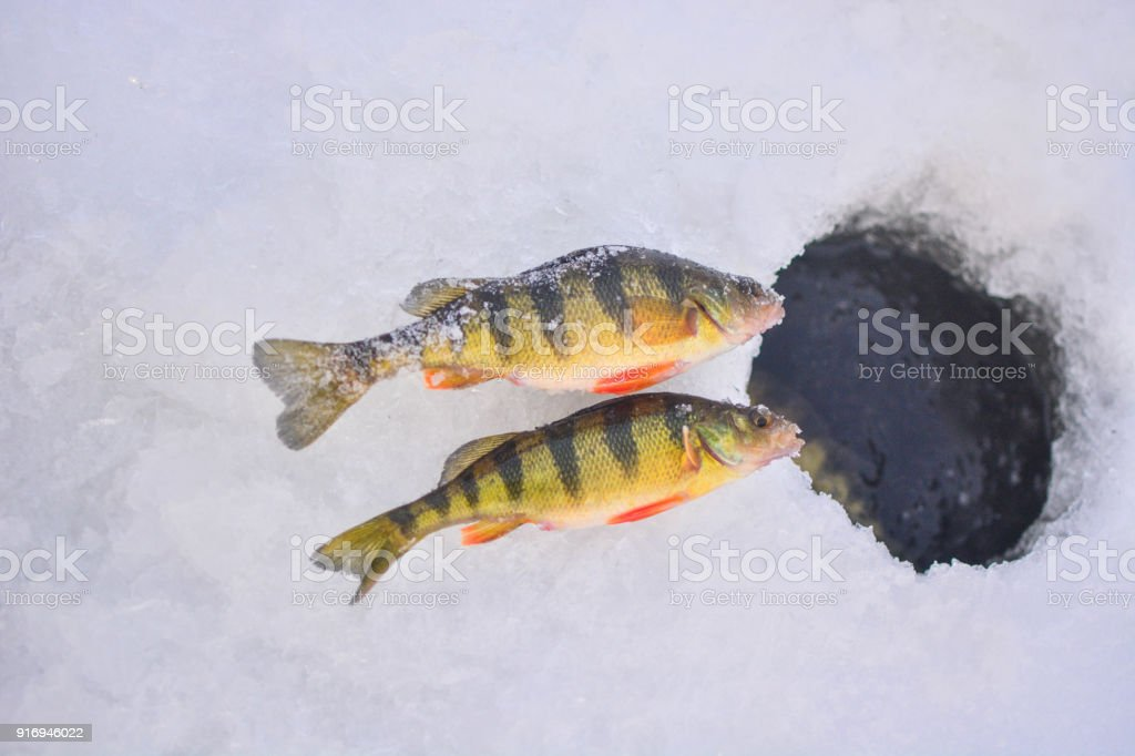 Perch Ice Fishing Stock Photo - Download Image Now - iStock