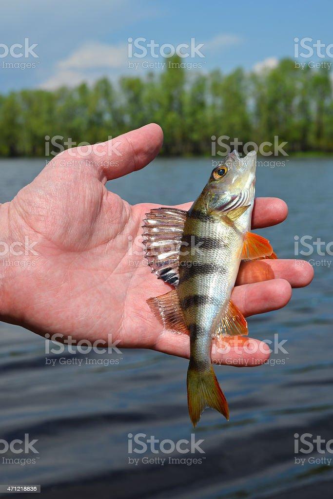 Perch in fisherman's hand stock photo