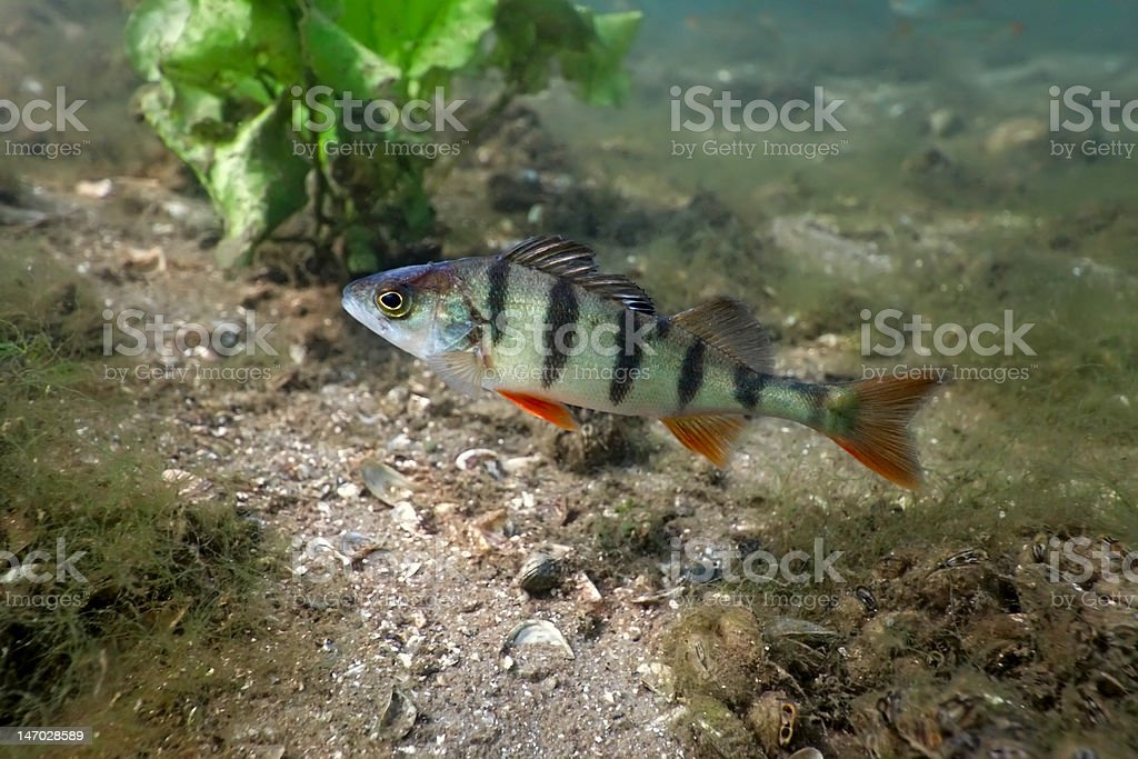 Perch in the lake royalty-free stock photo