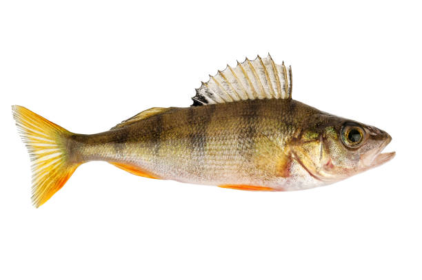 perch on white perch fish isolated on white perch fish stock pictures, royalty-free photos & images