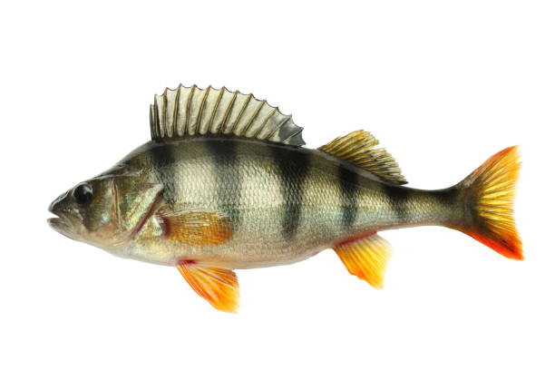 Perch Nice alive perch. Isolated on white background. Studio shot. perch fish stock pictures, royalty-free photos & images