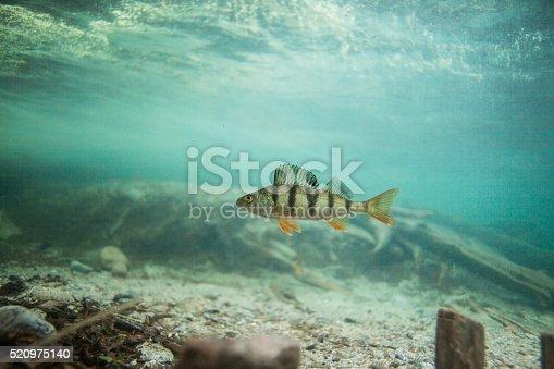 Perch swimming underwater