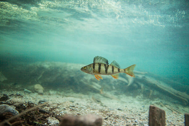 Perch swimming underwater Perch swimming underwater perch fish stock pictures, royalty-free photos & images