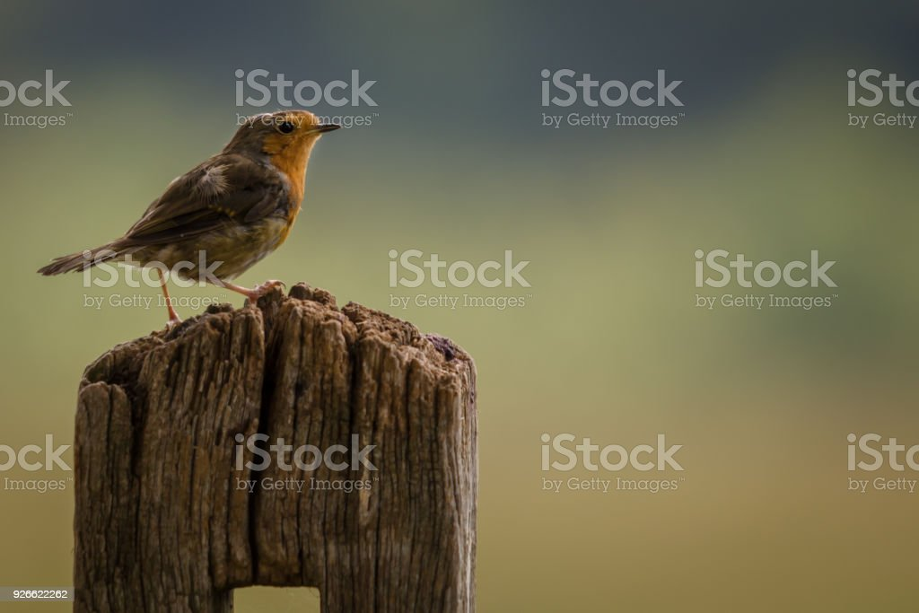 Perched adult Robin stock photo
