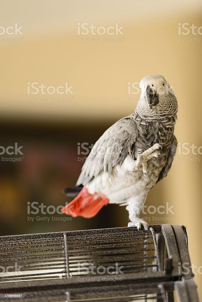 Perched African Gray Parrot royalty-free stock photo