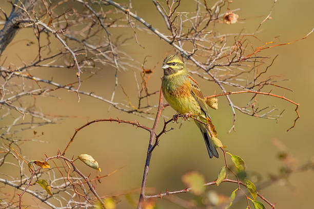 Perched Cirl Bunting stock photo