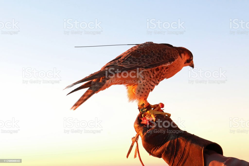 Perched falcon in the UAE stock photo