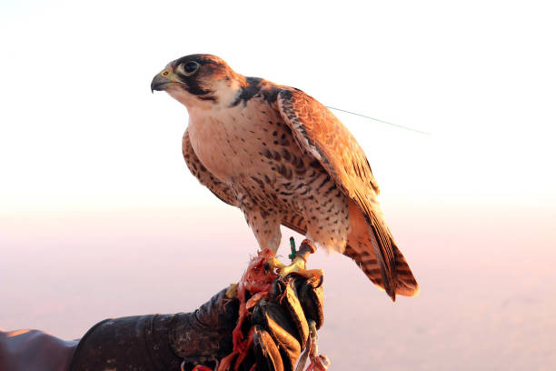 Perched falcon in the UAE stock photo