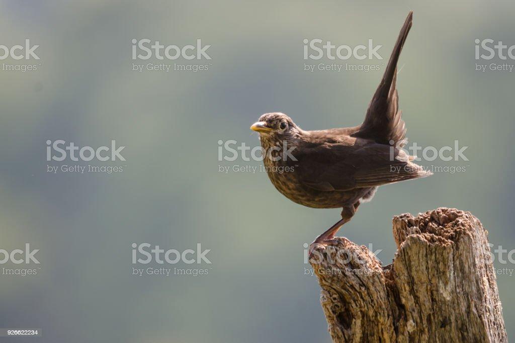 Perched Female Blackbird stock photo