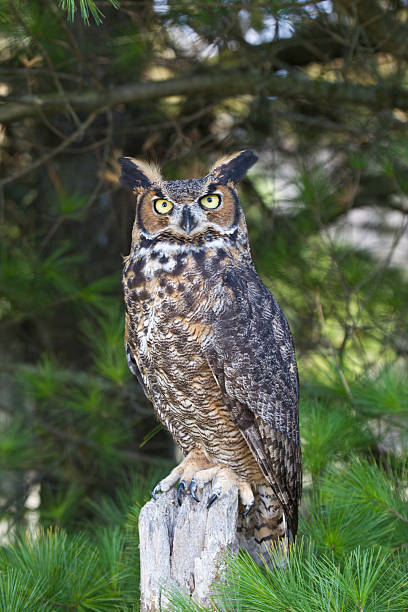 perched great horned owl with tree branches in background - amerikaanse oehoe stockfoto's en -beelden