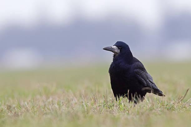 perched in grass the rook (corvus frugilegus) is at ease - saatkrähe stock-fotos und bilder