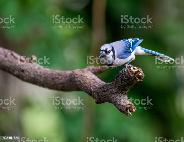 Photo of Perched Jay