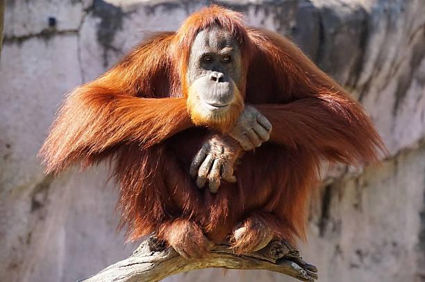 Perched Orangutan stock photo