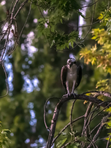 Perched osprey gazing, looking for prey stock photo