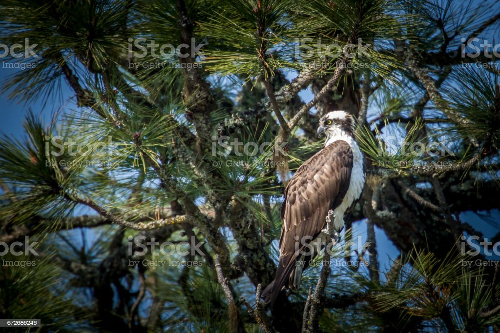 Perched Osprey in tree. stock photo