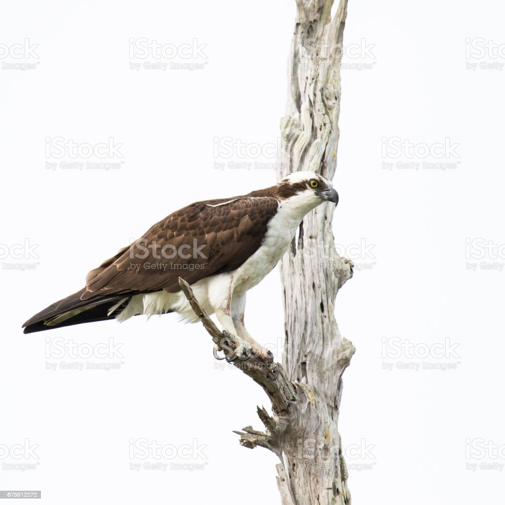 Perched Osprey photo libre de droits