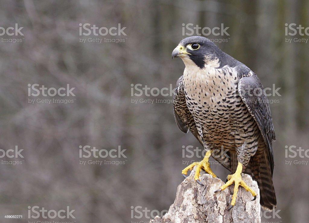 Perched Peregrine Falcon stock photo
