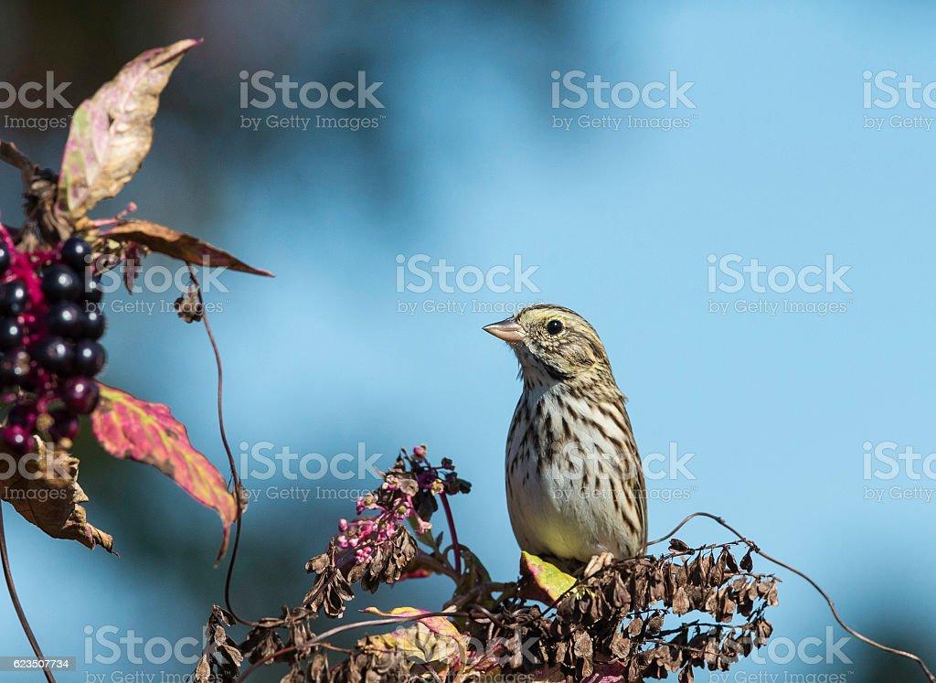 Perched Savannah Sparrow stock photo