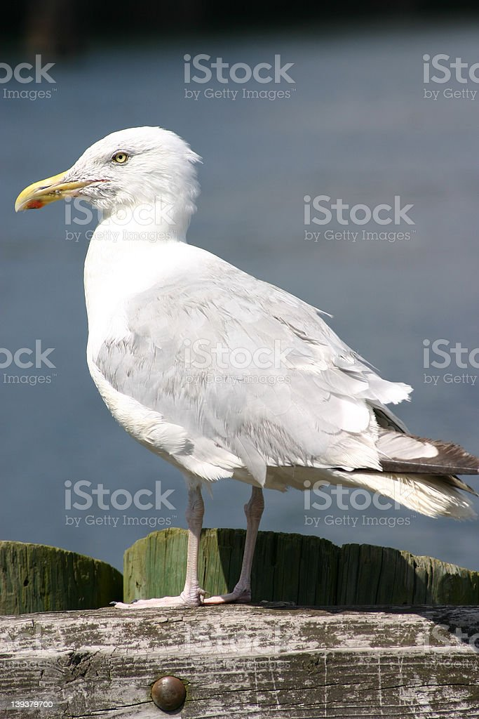 Perched Sea Gull royalty-free stock photo