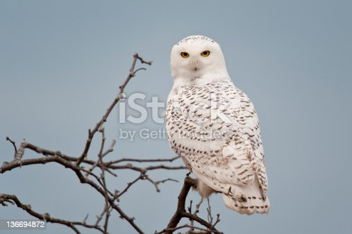 Snowy Owl on branch