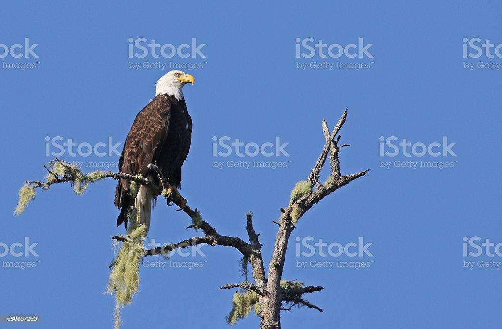 Perched Tofino Bald Eagle stock photo