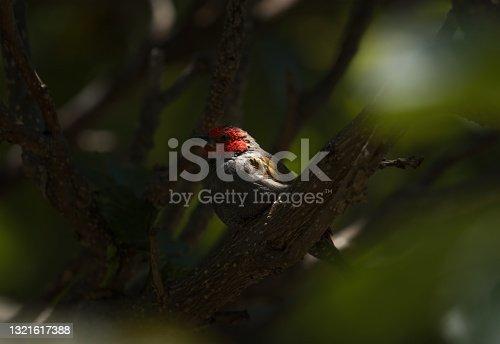 istock perched yellow-winged pytilia (Pytilia hypogrammica) 1321617388